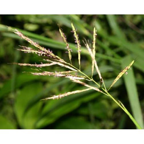 Palmroze, ēteriskā eļļa