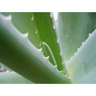 Aloe Vera koncentrāts (10:1)