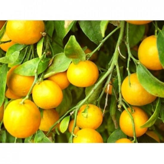Apelsīna ēteriskā eļļa, auksti spiesta