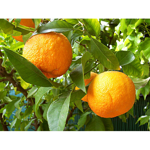 Apelsīns rūgtais, ēteriskā eļļa