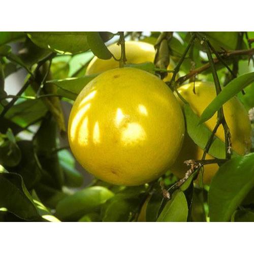 Bergamote, ēteriskā eļļa