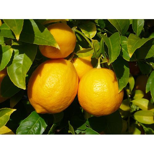 Citrons, ēteriskā eļļa