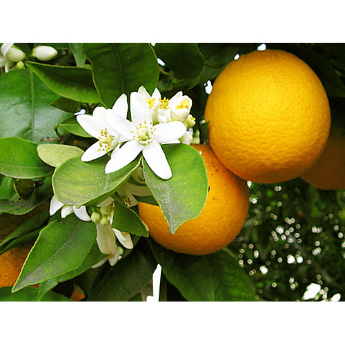 Mandarīns sarkanais, ēteriskā eļļa