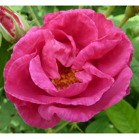 Rožu dārzs, ēterisko eļļu maisījums